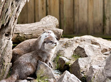 Two captive otters playing Royalty Free Stock Images