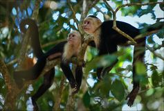 Two Capuchins. Royalty Free Stock Images