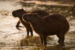 Two capybara standing in shallows at sunset Stock Images