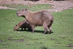Two capybaras Stock Image