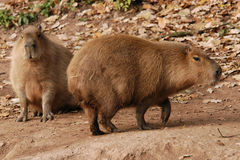 Two capybaras Royalty Free Stock Images