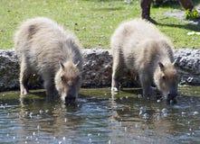 Two Capybaras Royalty Free Stock Photos