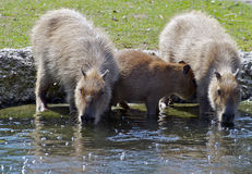 Three Capybaras. Two capybaras taking a drink of water on a hot summer day accompanied by a third younger one Royalty Free Stock Images