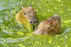Two capybaras and water Royalty Free Stock Image