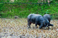 Two Carabao Buffalos Fighting in the Mud on a Royalty Free Stock Photography