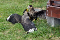 Two Caracaras fighting in Torres del Pain park Stock Images