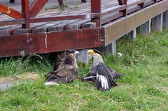 Two Caracaras fighting in Torres del Pain park.  Royalty Free Stock Images