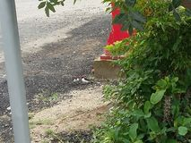 Cardinal birds in the ground royalty free stock image