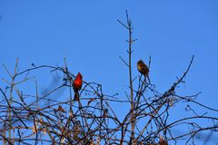Two cardinals perched Stock Photo