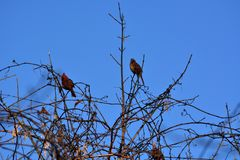 Two cardinals perched Royalty Free Stock Photo