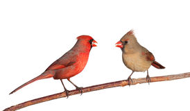 Two cardinals with safflower seeds in their beak. Two cardinals together eating a dinner of safflower seeds; white background royalty free stock photo