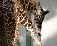 Two caressing giraffes. The Giraffe (Giraffa camelopardalis) is an African even-toed ungulate mammal, the tallest of all land-living animal species Royalty Free Stock Photography
