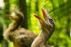 Two Cariama Cristatas screaming loud. At Foz do Iguasu, Brasil Royalty Free Stock Images