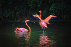 Two Caribbean Flamingos in a lake Stock Photography