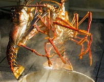 Two caribbean lobsters ready to be boiled. Langouste being lowered into a pot of boiling salted water at mac's pizzeria on bequia Royalty Free Stock Photos