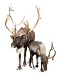 Two caribou. Isolated over white stock photography