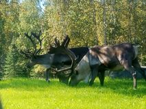 Two Caribou. A male and female Caribou grazing on a sunny day stock photo
