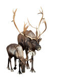 Two caribou over white background royalty free stock images