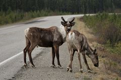 Closeup of 2 caribou crossing the road in Canada. Two caribou on side of the road in British Columbia, Canada. Male with antlers stock photo