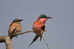 Two Carmine bee-eater perched on dry twig. Merops nubicoides stock photos