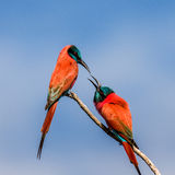 Two Carmine Bee-eaters are sitting on a branch against the blue sky. Africa. Uganda. An excellent illustration royalty free stock photo
