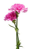 Two carnation Royalty Free Stock Image
