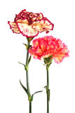 Two carnation Stock Photos