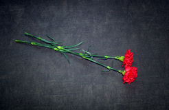 Two carnation flowers on a dark background Royalty Free Stock Images