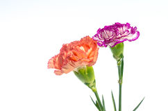 Two carnation flowers design isolated on white background Royalty Free Stock Images