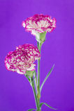 Two carnation flowers design on purple background Royalty Free Stock Photos