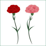 Two carnations Stock Photo