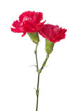 Two carnations Stock Photos