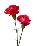 Two carnations Stock Images