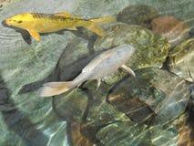 Two carp koi or Japanese carp. Carp koi more specifically nishikigoi pron. niscichigoi, literally `brocade carp` or Japanese carp, is the ornamental variety of Stock Photography