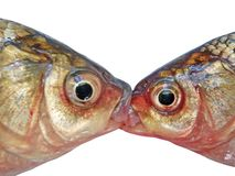 Two carps Royalty Free Stock Photo