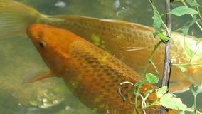 Two carps swim together in a pond on a sunny day in summer. A striking view of a golden and white carps swimming together in a pond on a sunny day in summer stock footage