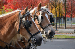 Two carriage horses in the autumn streets. Heads of two carriage (cart) horses with bridles and blinkers in the streets of Berlin, Germany, with autumn trees in Stock Photos