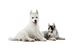 Two carried puppies of siberian husky dog posing at studio. Royalty Free Stock Photo