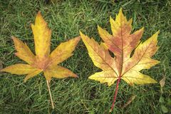 Two carved very similar yellow autumn leaves. On the left is a Liquidambar styraciflua leaf, on the right is a maple Acer sacchari. Num leaf royalty free stock photography