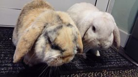 2 rabbits. Two Cashmere Lop rabbits, one white and one brown with black stripes Stock Images