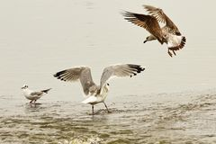 Two caspian gulls fighting for fishing spot Stock Photos