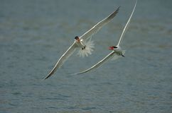 Two Caspian terns are fighting for the fish Stock Photography