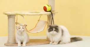 Two cat. Play the toy Royalty Free Stock Photography