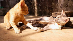 Two cat playing. Two little cute cat playing cheerfully stock video footage