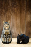Two cat two color Royalty Free Stock Images
