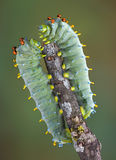 Two caterpillars Royalty Free Stock Images
