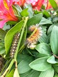 Two Caterpillars on leaves Royalty Free Stock Photo