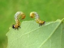 Two caterpillars eat a leaf of a tree in the garden. Agriculture, green background. Two caterpillars eat a leaf of a tree in the garden. Agriculture, blurred stock photography