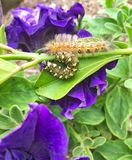 Two Caterpillars in garden Royalty Free Stock Photo