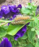 Two Caterpillars in garden Royalty Free Stock Image